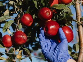 新西兰种植的迷你苹果即将发售 迷你苹果