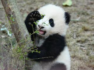 梦到熊猫有什么含义?求学者梦见熊猫代表什么? 动物,梦到熊猫,有幸遇到异性