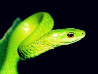 梦到蛇的表演代表什么?生意人梦到蛇表演? 动物,梦到蛇表演,金钱的损失