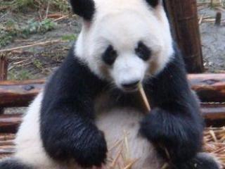 孕妇梦到熊猫预示生活中会发生好事还是坏事? 梦的百科,梦到熊猫,孕妇梦到熊猫