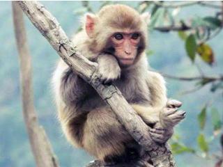 梦见猴子不同神态是什么意思?做梦梦见猴子不同神态寓意什么? 动物,梦见猴子,预示,梦境解说