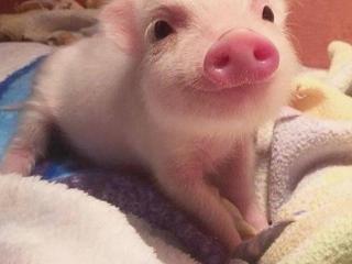 梦见一只猪是什么意思?梦见一只猪被分尸是什么预兆? 动物,梦见一只猪,梦见一只猪被分尸