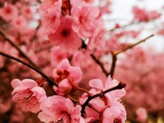 梦到桃花运是什么意思?梦到桃花运是什么预兆? 情爱,梦到桃花运,出游者梦到桃花运