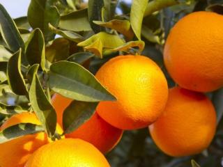 我为什么会梦到自己在果园里面摘橘子吃,这有什么特殊的意思 梦的故事,橘子,梦到摘橘子