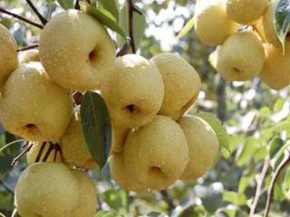 我为什么会梦见一棵梨树,我还从上面摘了梨,这是什么意思? 梦的故事,梨树,梦到从梨树上摘梨