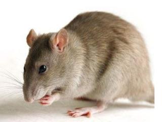 梦见老鼠吃老鼠是什么意思?梦见老鼠吃老鼠是什么预兆? 梦的故事,梦见老鼠吃老鼠,单身者梦见鼠吃鼠
