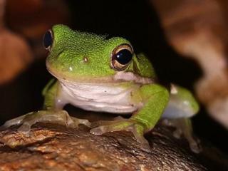 梦中蛙鸣感觉很混乱代表了什么? 动物,青蛙,梦到蛙鸣