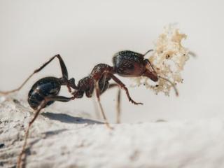 梦到蚂蚁急得不可开交到处跑是不是不好? 动物,蚂蚁,梦到蚂蚁嘴里有食物