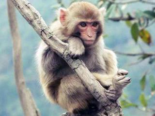 梦见猴子代表可能会遇到不好的事情,做梦梦见猴子预示什么? 动物,猴子,梦见猴子,梦见抓猴子