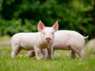 梦见与猪一起玩耍是什么意思?做梦梦见与猪一起玩耍寓意什么? 动物,梦见和猪一起玩耍,预示,梦境解说