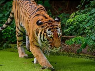 我为什么会梦到一只老虎扑向我,把我扑倒了,这是什么意思? 动物,老虎,梦到老虎扑人