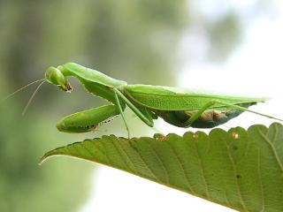 梦见螳螂是吉兆代表会升官发财,做梦梦见螳螂预示什么? 动物,螳螂,梦见螳螂,梦见螳螂跳跃
