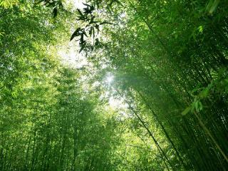 梦见竹林代表将会运气亨通事事顺心,梦见竹子预示什么? 植物,竹子,梦见竹子,梦见竹林