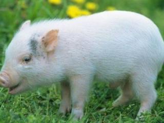猪猪猪猪猪:生肖猪要5月来临,注意不要错过3件事,关系到明年 猪猪猪猪猪