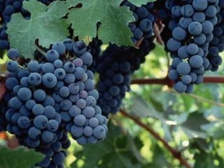 赤霞珠葡萄有什么特点?酿制的葡萄酒有什么特点? 名酒资讯,赤霞珠葡萄,赤霞珠葡萄特点