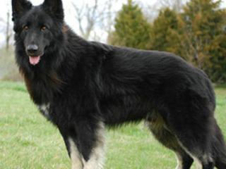 梦见狼狗是什么意思?梦见狼狗是什么预兆? 梦的百科,梦到狼狗,梦到狼狗跑