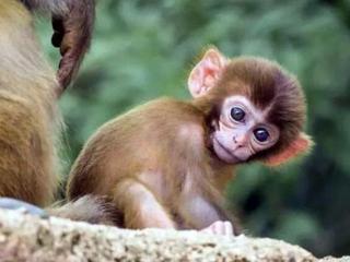 做梦梦到两只猴子是什么预兆,梦到两只猴子是好是坏 梦的百科,猴子,梦到两只猴子