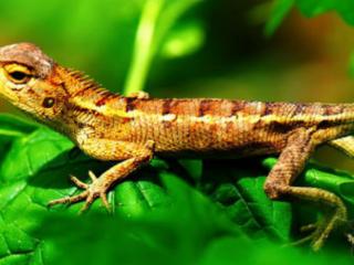 梦到蜥蜴是什么预兆,梦到蜥蜴是好是坏 梦的百科,蜥蜴,梦到蜥蜴