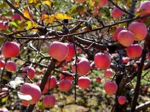 做梦梦到苹果是什么预兆,梦到苹果是好是坏 梦的百科,苹果,梦到苹果