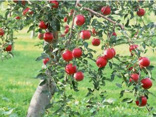 梦见红红的大苹果预示生活中会发生什么?好不好? 梦的百科,梦见苹果,梦见树上长苹果