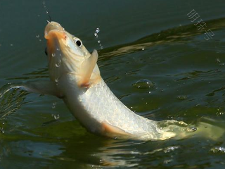 梦见猫抢吃我的鱼是什么意思?梦见猫抢吃我的鱼是什么预兆? 动物,梦见猫抢吃我的鱼,孕者梦到猫抢我的鱼