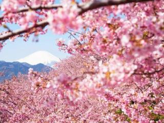 梦樱花被风吹落预示什么?梦到樱花的梦是什么意思? 梦的故事,梦到樱花的梦,梦到樱花的梦分析