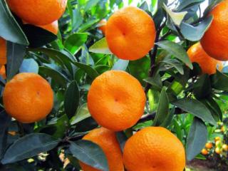 商人梦见橘子树断了在生活中是什么意思?运势如何? 植物,梦见吃橘子,商人梦见橘子树断了