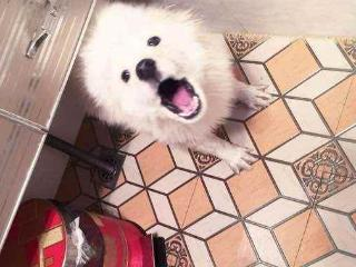 别人手中买来的低价萨摩耶,看到它第一眼的时候,宠主后悔了 狗狗