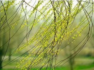 梦里面出现杨柳是吉兆吗?梦到杨柳该开心吗? 植物,梦到杨柳,梦到杨柳的含义