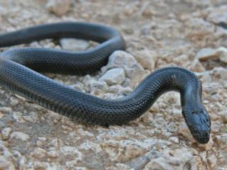 梦见黑蛇代表啥意思?梦见黑蛇是什么预兆? 动物,梦见黑蛇,怀孕的人梦见黑蛇
