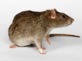 做梦梦见老鼠是什么意思?梦见老鼠屎的梦境解析 动物,做梦梦见老鼠,梦见老鼠是什么意思