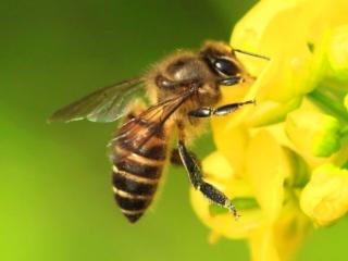 梦见蜜蜂是什么意思?梦见自己被蜜蜂蛰的梦境解析 动物,梦见蜜蜂,梦见蜜蜂是什么意思