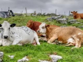 梦中不同的人看见了几头牛,有什么预兆? 动物,梦见牛,梦见几头牛