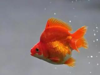 做生意的人在梦中看见小金鱼,预示着什么? 动物,梦见小金鱼,梦见水里有金鱼
