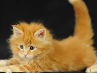 相爱的人梦中看见黄色的猫,预示着什么? 动物,梦见猫,梦见黄色的猫