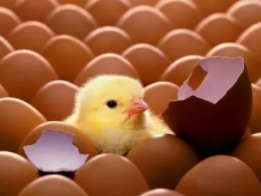 睡觉的时候梦到鸡蛋里孵出小鸡有什么预兆?一起来看看吧 梦境解析,鸡蛋里孵出小鸡,梦见鸡蛋里孵出小鸡