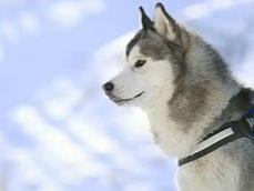 做梦的时候梦见了一只狗,好像还是哈士奇,那做这种梦有何寓意? 动物,哈士奇,梦见哈士奇