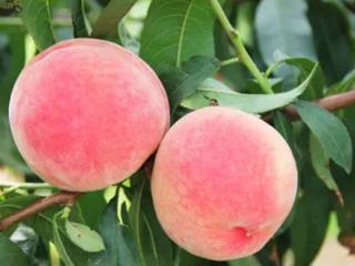 失业的人在梦中给别人一个桃子,代表什么意思? 植物,梦见桃子,梦见洗桃子