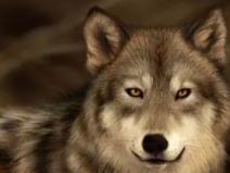 在睡梦中,看见一只狼一直在找东西吃,做这种梦会倒霉吗? 动物,狼,梦见狼饿了在找东西吃