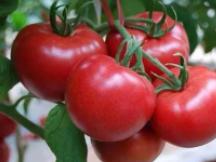 当西红柿这种植物出现在梦境中的时候,会不会影响到近期的运势? 植物,西红柿,梦见很多西红柿