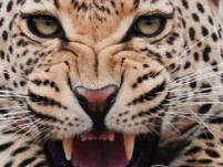 夜晚在睡着之后,做梦的时候梦见豹子变成人,得此梦运势如何? 动物,豹子,梦见豹子变成人