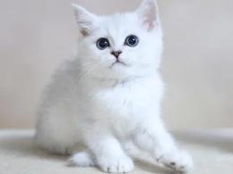 梦到白猫是什么意思?梦到白猫咬自己有什么寓意 动物,梦到白猫,梦到白猫是什么意思