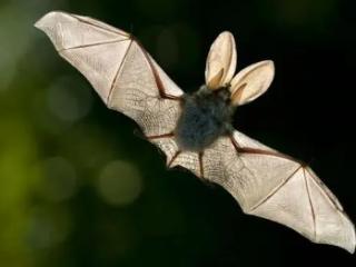 梦到白色的蝙蝠是什么意思?本命年的做这个梦好不好 动物,梦到白色的蝙蝠,梦到白色蝙蝠什么意思