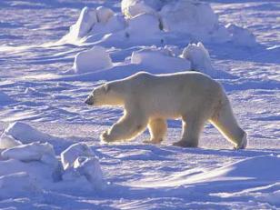 女人梦到白熊是什么意思?不同的女人梦见这个代表什么 动物,梦到白熊是什么意思,女人梦到白熊什么意思