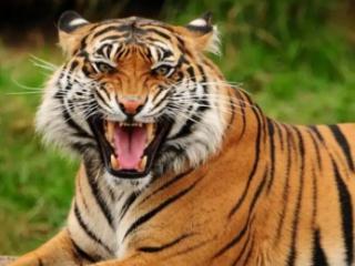 梦到老虎是什么意思?梦到被老虎咬了好不好 动物,梦到老虎,梦到老虎是什么意思