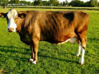 梦到母牛是什么意思?梦到小母牛有什么特殊寓意吗 动物,梦到母牛,梦到母牛是什么意思