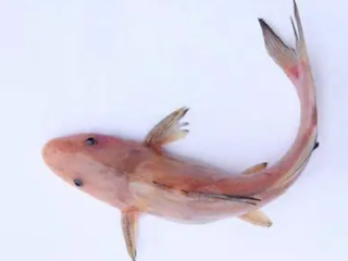 本命年的人在梦里看见养的鱼死了,预示着什么意思? 动物,梦见鱼,梦见养的鱼死了