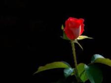 梦境中的玫瑰都长在了树上面,得此梦近期运势如何? 植物,玫瑰花,梦见玫瑰花长在树上