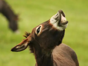 睡觉的时候梦境中出现了驴在现实中运势怎么样?梦见驴代表什么? 动物,驴,梦见驴是什么意思