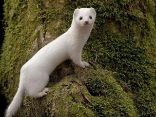 梦里出现白色的黄鼠狼,这个梦境的含义好不好? 动物,梦到黄鼠狼,梦到白色黄鼠狼